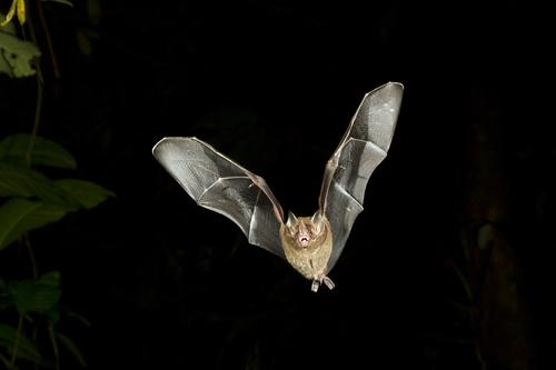 Miami Bat in Attic
