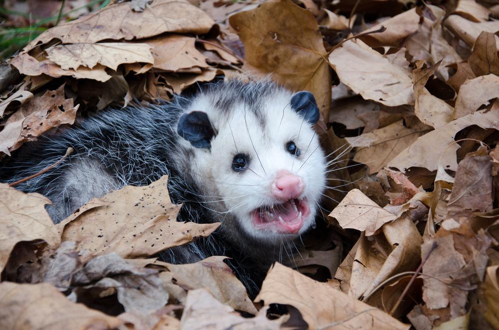 Miami- Opossum Control-