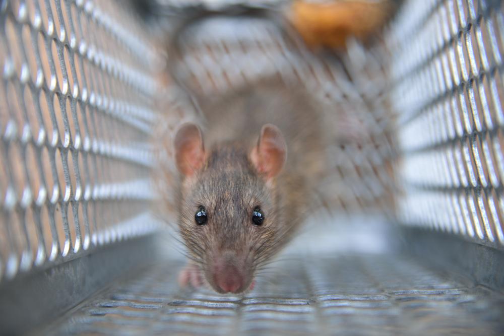 Miami- Rat Trapping