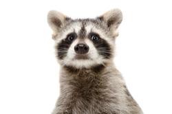Raccoon Extermination