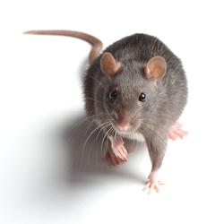 miami rat