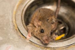 Rodent Exterminator Miami